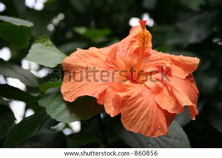 Stunning large Orange flower on a tropical tree in a Glasshouse at Edinburghs botanical gardens. - stock photo