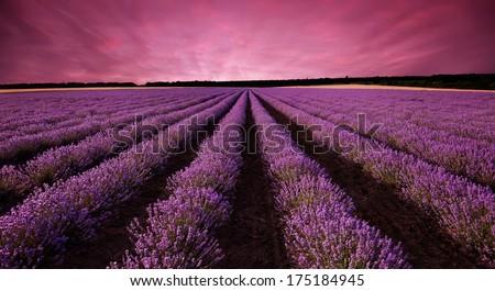 Stunning lavender field landscape at sunset - stock photo
