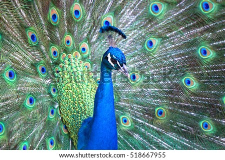 Stunning peacock flaunting his stuff!