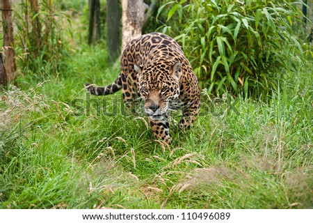 Stunning portrait of jaguar big cat Panthera Onca prowling through long grass in captivity - stock photo