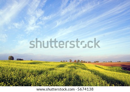 Stunning rapeseed field and blue sky with white clouds