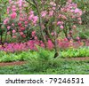 Stunning spring garden in full bloom with Rhododendrons and primulas. - stock photo