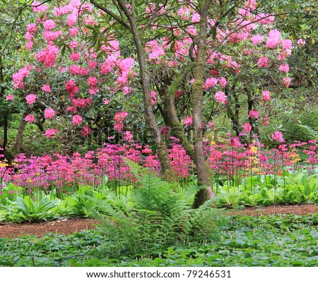 Stunning spring garden in full bloom with Rhododendrons and primulas.