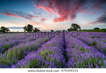 Stunning sunset sky over a field of lavender in the Somerset countryside