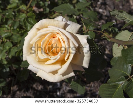 Stunningly  magnificent romantic beautiful buff  copper yellow hybrid tea  rose  fully blown after blooming in early spring adds fragrant charm to the garden  land scape.  - stock photo