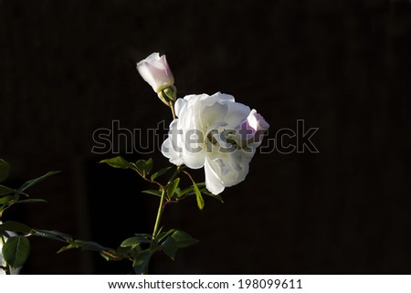 Stunningly  magnificent romantic beautiful pale pink buds of a  white   rose blooming in early winter  adds fragrant charm to the garden scape after the long hot summer. - stock photo