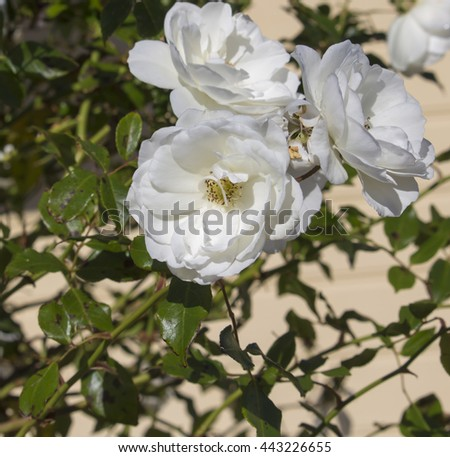 Stunningly  magnificent romantic beautiful pure  snow white Iceberg roses blooming in early spring  add fragrant charm to the garden   with their stunning  florabunda clustering habit . - stock photo