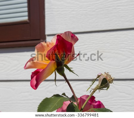 Stunningly  magnificent romantic beautiful red  and yellow toned florabunda  rose blooming against a white house   in late spring  adds fragrance and color to the urban  landscape. - stock photo