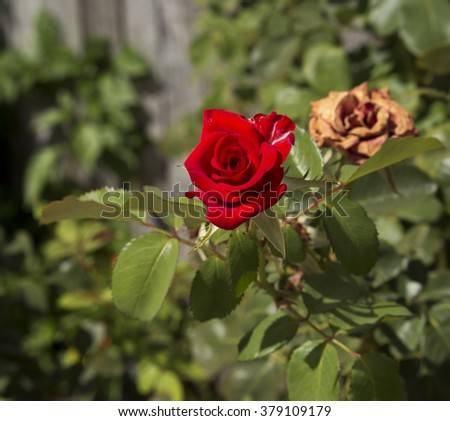 Stunningly  magnificent romantic beautiful  red hybrid tea   rose blooming  in  late summer adds fragrance and color to the urban  landscape. - stock photo