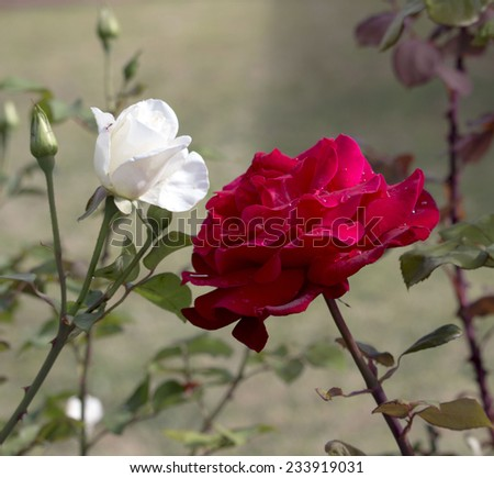 Stunningly  magnificent romantic beautiful red toned hybrid tea    rose blooming in late spring adds color and  a rich fragrance to the garden land scape. - stock photo