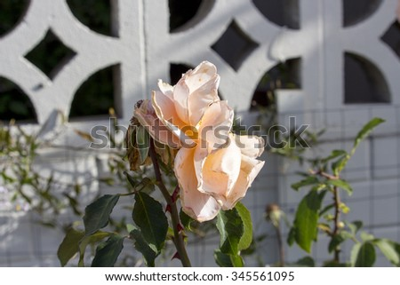 Stunningly  magnificent romantic beautiful  salmon pink   hybrid tea   rose  fully blown against a decorative white painted brick wall  in    autumn   adds fragrance and color to the urban  landscape. - stock photo