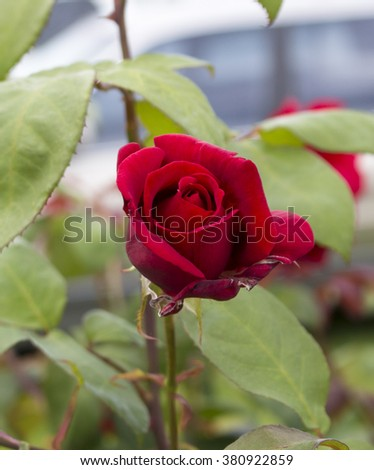 Stunningly  magnificent romantic beautiful   velvet red   hybrid tea   rose blooming  in  late summer adds fragrance and color to the urban  landscape. - stock photo