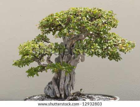 Sturdy Bonsai - stock photo