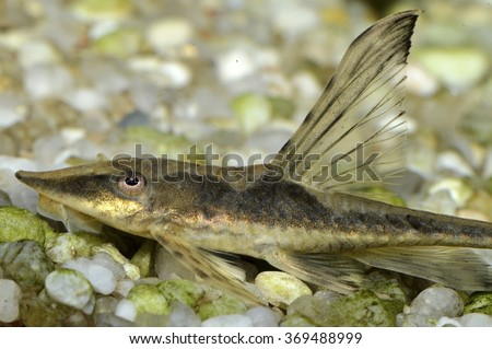 Sturisoma, a genus of armored catfishes native to Central and South America - stock photo