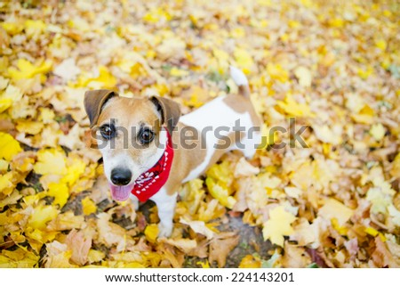 Stylish dog with red bandanna walks in a beautiful autumn park. Pretty funny smiling muzzle - stock photo