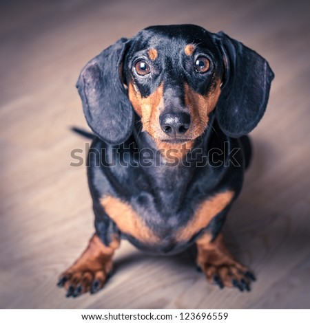 Stylized portrait of Dachshund on wooden background. - stock photo