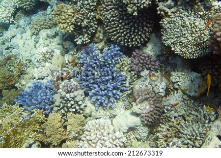 Stylophora pistillata hard coral. Underwater life of Red sea in Egypt. Saltwater fishes and coral reef - stock photo