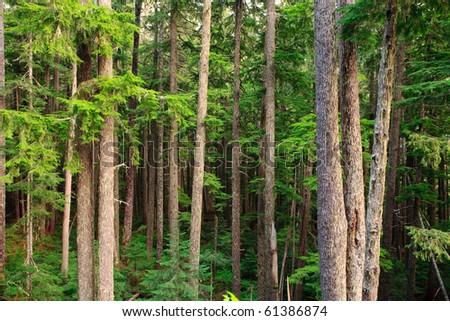 sub-alpine forest - stock photo