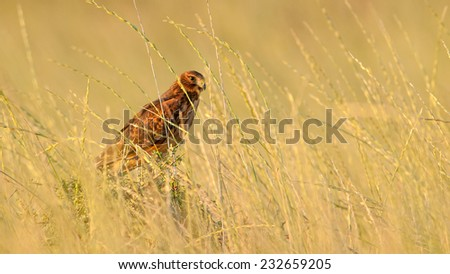 Subadult Cinereus Harrier (Circus cinereus) perched on a shrub. Patagonia, Argentina, South America. - stock photo