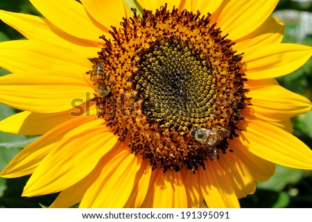 subflower and bees - stock photo
