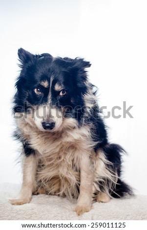 submissive border collie dog in studio with white background - stock photo