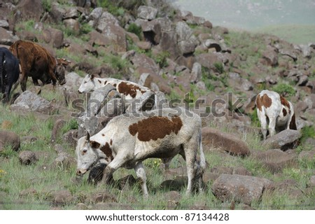Subsistence farming. share-croppers nguni cattle graze  stonydrakensberg slopes, kwazulu natal,south africa. note the crude nose-plate fitted to prevent the animal from ingesting stones,etc