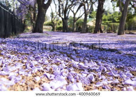 Suburban road with line of jacaranda trees and small flowers making a carpet