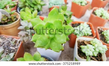 Succulent Cactus Plant In a Garden. - stock photo