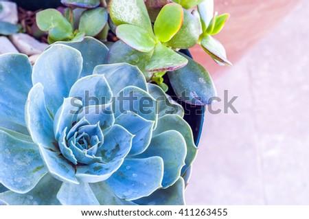 Succulent close up - stock photo