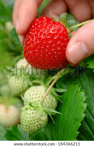 Succulent fresh strawberry being plucked, with green berries and leaves in the background  - stock photo