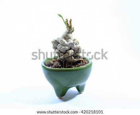 succulent isolated on white background