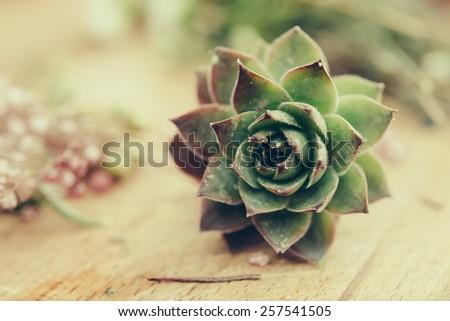 Succulent Jovibarba - stock photo