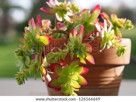 Succulent plant and pot closeup - stock photo