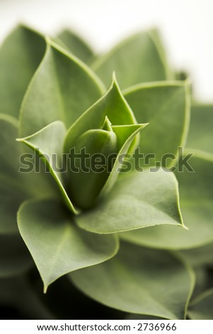 Succulent plant close-up on white background - stock photo