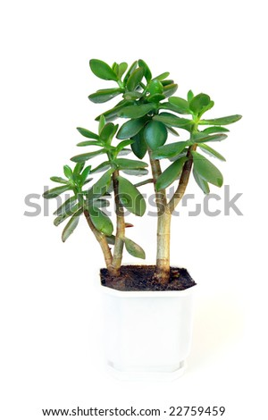 Succulent plant in flowerpot on white background