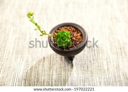 succulent plant in the pot - stock photo