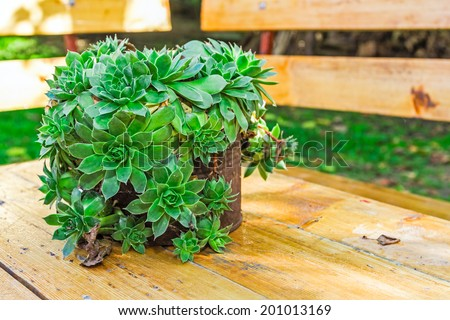 Succulent plant is growing in rusty metal can, Houseleek plant - stock photo