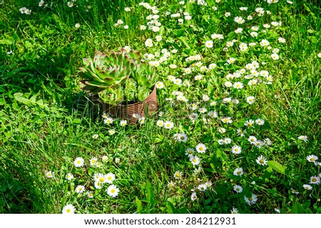 Succulent plant is growing in rusty metal can on a meadow with Daisy flowers. - stock photo