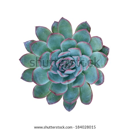 Succulent plant isolated on a white background - stock photo