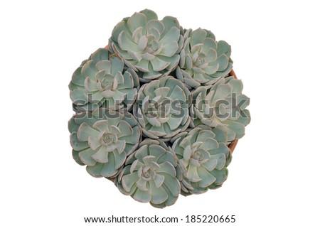 succulent  plant isolated on white background - stock photo