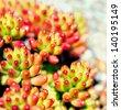 Succulent plant, Pachyphytum - stock photo