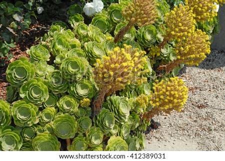 Succulent plant yellow flower garden stock photo 100 legal succulent plant with yellow flower in garden mightylinksfo