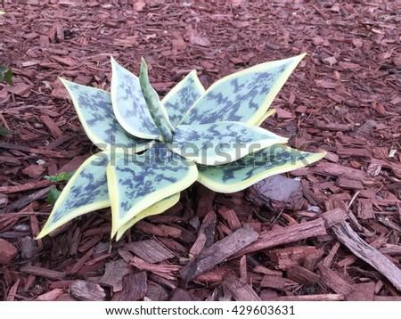 Succulent plants, Cactus plants Agave plants. - stock photo