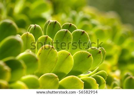 Succulent plants green seen at Villa Hanbury, botanic garden near Ventimiglia in the Italian Riviera - stock photo