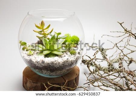 Succulent Plants Growing Glass Vase Terrarium Stock Photo 629450837
