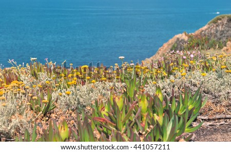 succulent plants with yellow flowers on rocky Corsica coast  - stock photo