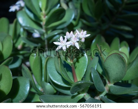 Crassula Ovata Stock Images, Royalty-Free Images & Vectors ...