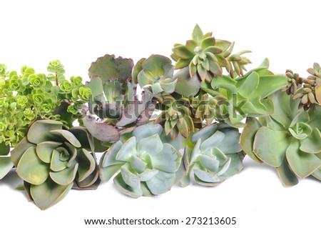 Succulents - stock photo