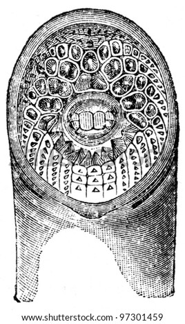 sucker of lamprey - an illustration of the encyclopedia publishers Education, St. Petersburg, Russian Empire, 1896 - stock photo