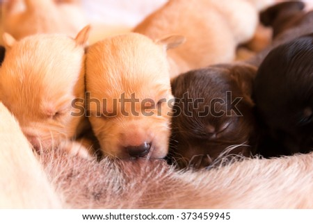 Suckling of Labrador Retriever Baby from Mother - stock photo